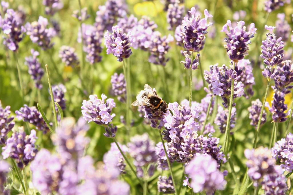 Lavendel fuer den Lavendelsirup von Sweets and Lifestyle