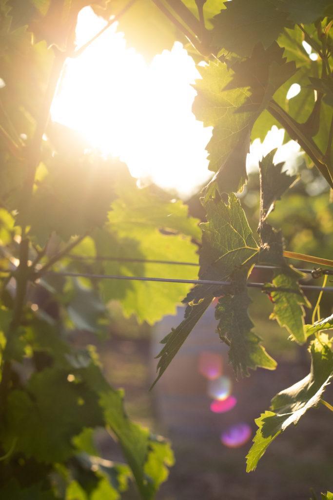 Abendsonne zwischen den Weinreben beim Tafeln im Weinviertel