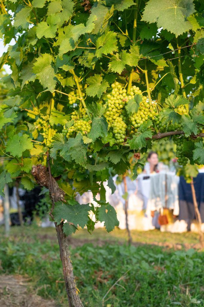 Tafeln im Weinviertel zwischen den Weinreben unter der Abendsonne