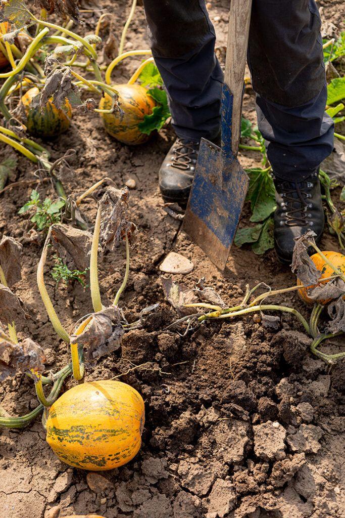 Bio-Bauer Georg Prantl mit Oelkuerbissen am Feld aus denen er sein Pumpking Oil herstellt