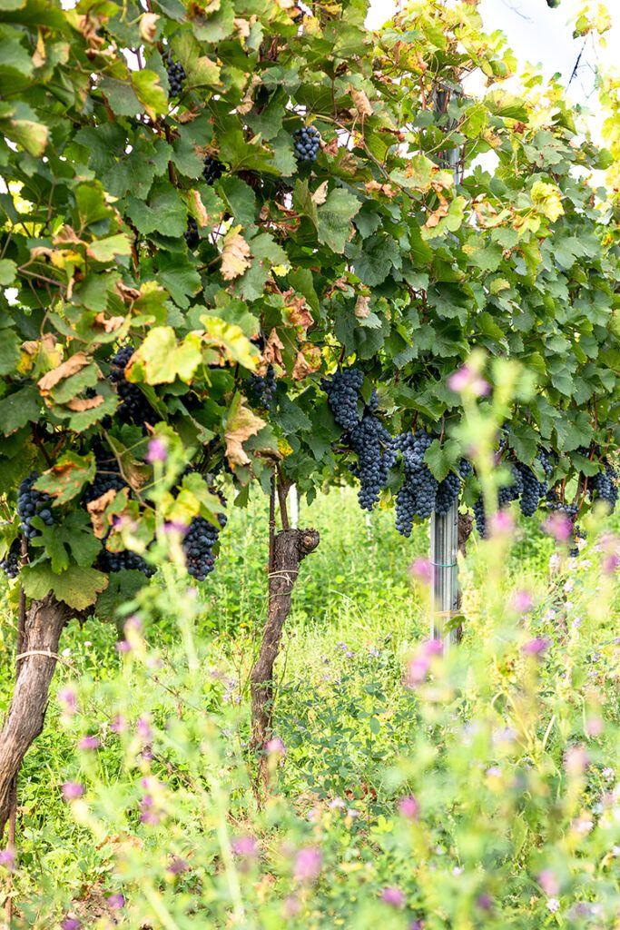 Bio Carbernet Sauvignon Rebe fotografiert von Verena Pelikan