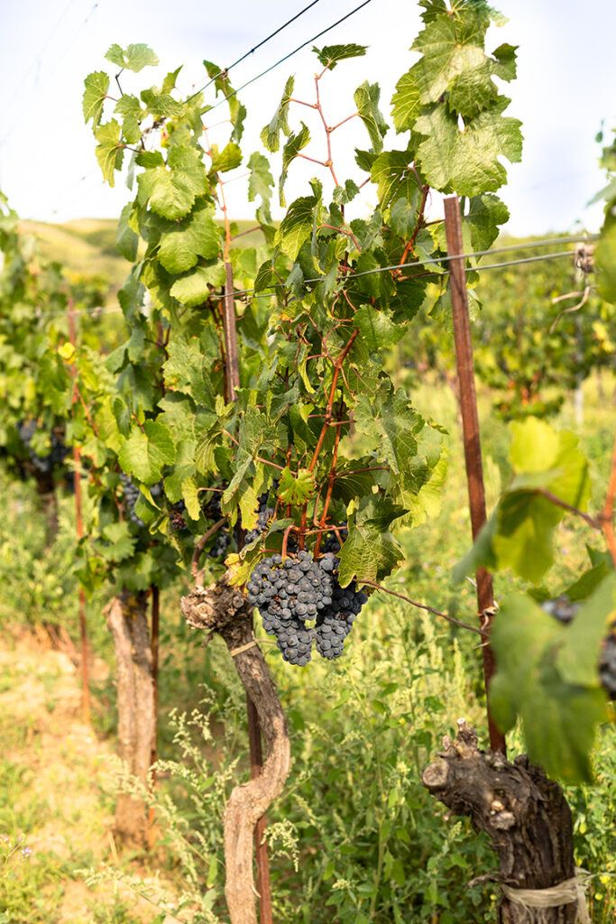 Cabernet Sauvignon Rebe vom Bio-Weingut Hareter aus Weiden am See