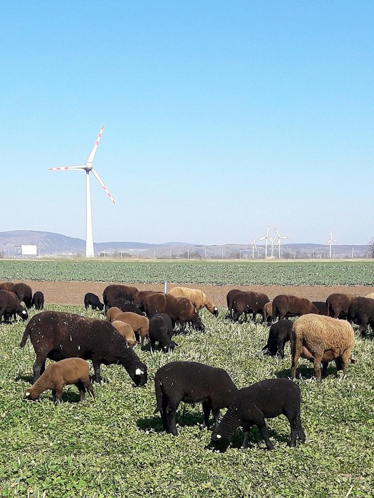 Bio-Schafe von Bio-Bauer Georg Prantl mit ihren Laemmern auf der Weide