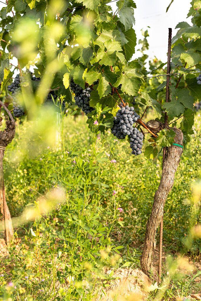 Weintraube aus biologischer Landwirtschaft fotografiert von Verena Pelikan
