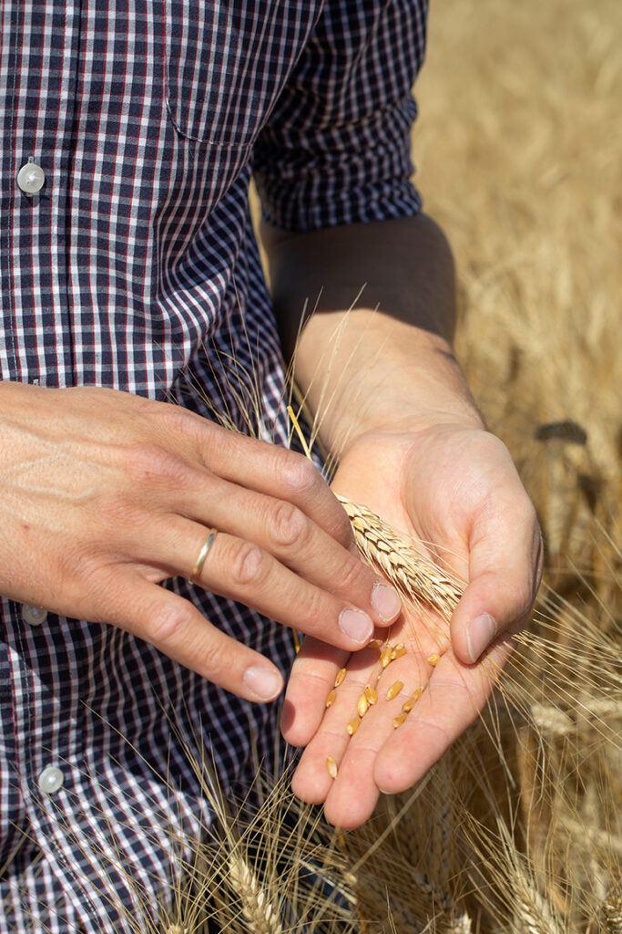Kontrolle des Reifegrades vom Hartweizen direkt am Feld der fuer die Firma Recheis angebaut wurde